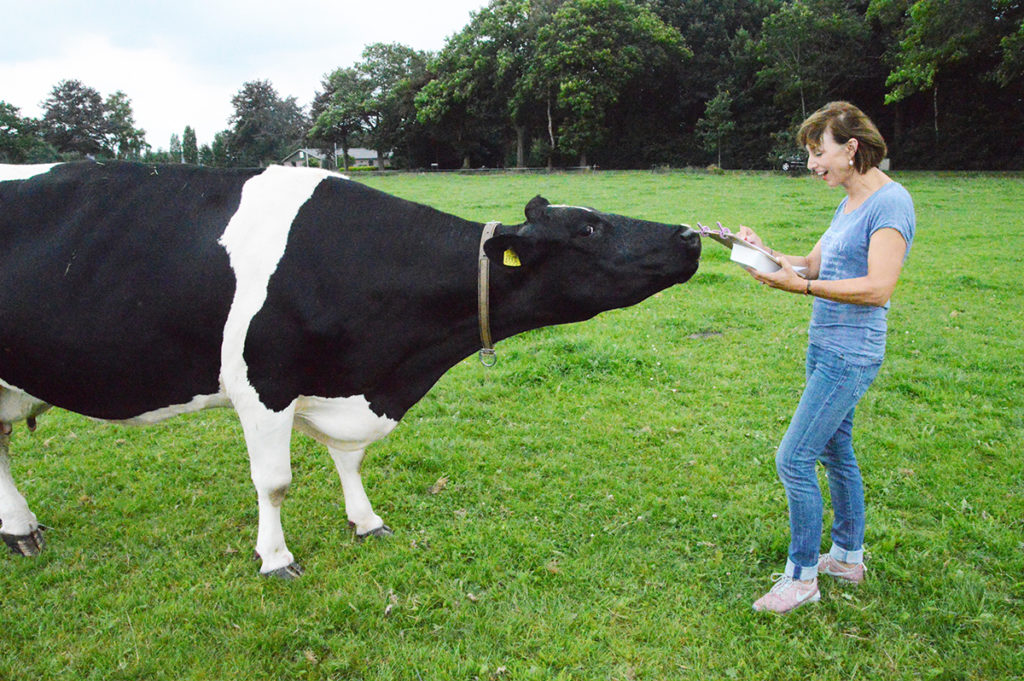 Foto van een dame die een zeer geïnteresseerde koe tekent in de wei.
